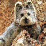 Lili pika : mais quel est cet adorable animal menacé dextinction ? http://t.co/7R9Wiu0hiq http://t.co/9Db4FuzZ5w