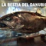 La bestia del #Danubio: el salmón que llega a ser tan grande como una persona http://t.co/CdiOE2JBoC http://t.co/wGshqxSlj5