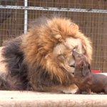 Awww: un perro salchicha le lame el rostro a un león http://t.co/aQY2hitnTa http://t.co/XhbPn49ruU
