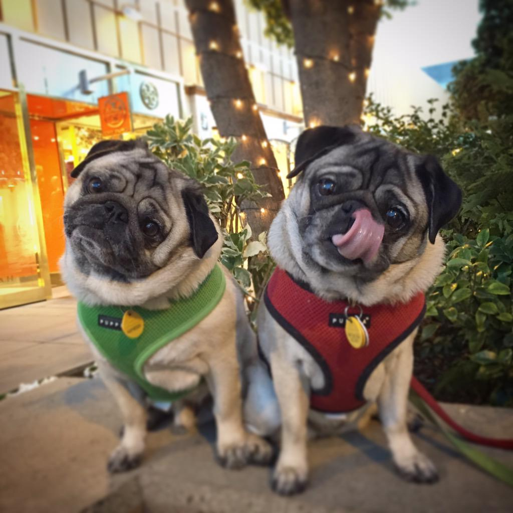 Night walkin'. @stanfordshop #puglife http://t.co/4e09PyXGJ1