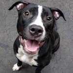 URGENT! #NYC Gorgeous #pitbull Quino needs our help! https://t.co/hLLOO6EyoQ Please #share & RT! ???? http://t.co/ASJDjRIEfP