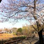 開園前の上野動物園西園の桜。シダレヤナギの緑もモリモリと現れて春不可避。 http://t.co/IhF9xevCZl