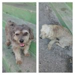 !URGENTE! Vistos estos 2 perritos x Los Samanes-Maracay-Vzla Buscan sus dueños u hogares. ---> @e0b127c0a0734d5 http://t.co/KtZ4gE1LYv