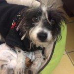 Ayudenme  compartir la imagen de PENNY, se acaba de perder por santa tere @EnGuadalajara @adoptandounamig @adoptagdl http://t.co/mw8VVEZP9D