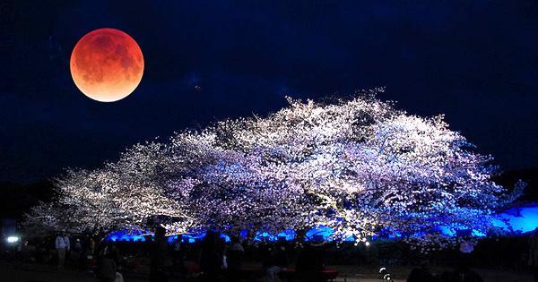 『赤い満月』と『夜桜』に酔える! 4月4日は『月食花見』。次は17年後 http://t.co/NDeAO4TDkm 完全に月が地球の影に入る皆既月食の間は月が赤黒く輝くように見える。今年はそれがちょうど桜の開花時期と重なるという。 http://t.co/KZiALa2AnP