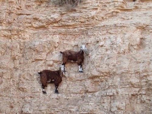 They're called Mountain Goats for a reason! Yikes! http://t.co/LJvN20I5Z4