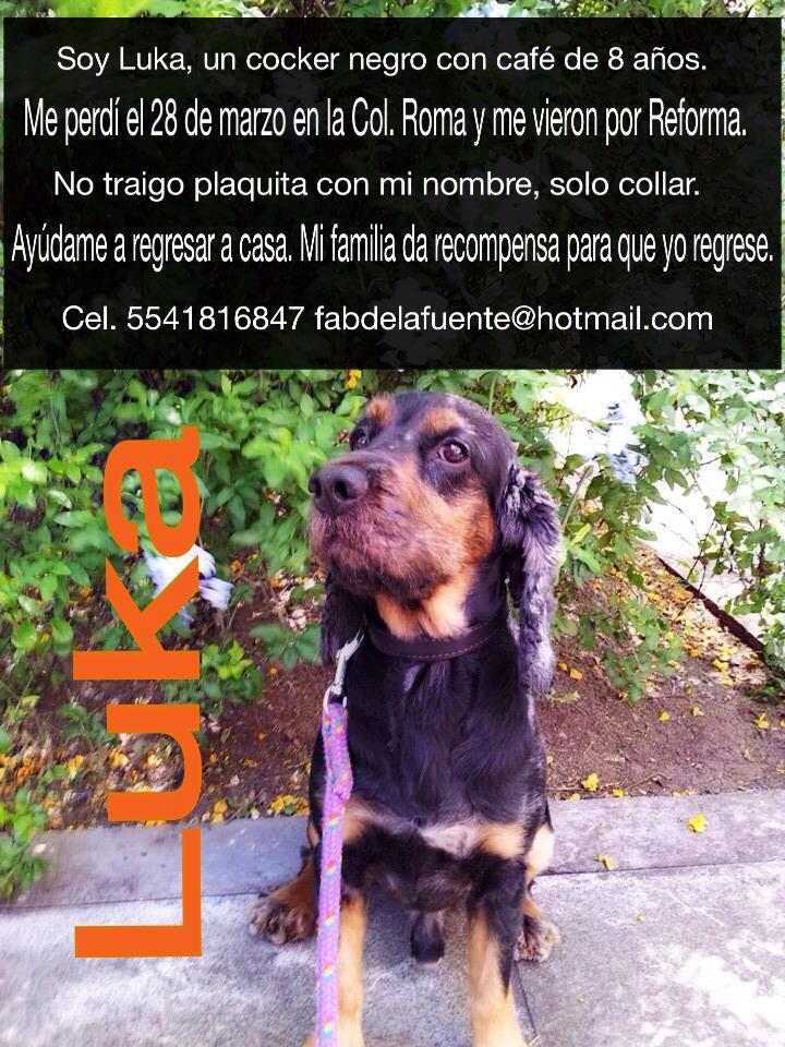 Ayúdanos a encontrar a Luka, se perdió ayer en la Col. ROMA y fue visto por Reforma. Trae collar sin plaquita #cocker http://t.co/AmhZSjzVFL
