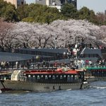See cherry blossoms from the Sumida River at the Bokutei Sakura Matsuri http://t.co/JHdy6gMJBN http://t.co/5BZMEdzh8t