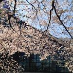池袋・劇場前も満開です!#sakura http://t.co/2kd7Gskt99