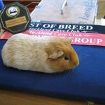 Pretty excited about this one, New Zealands National Guinea Pig Show is on this Saturday! http://t.co/1zryUHrqK1 http://t.co/VQURtvU1yz