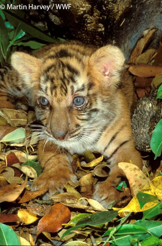 Tiger litters can be up to 7 cubs! That's a lot of #TinyTigers! Text TIGER to 70123 for a £5 donation to @WWF_UK. http://t.co/0Xtvk9yRnq