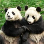 RT @Rowena__Lindsay: #Pandas are actually pretty gregarious, study finds http://t.co/A10GjnZcv3 http://t.co/eIzbAQqUX6