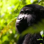Found only in Uganda, Rwanda and Congo. Magnificence. #mountaingorilla http://t.co/mKONR9doby