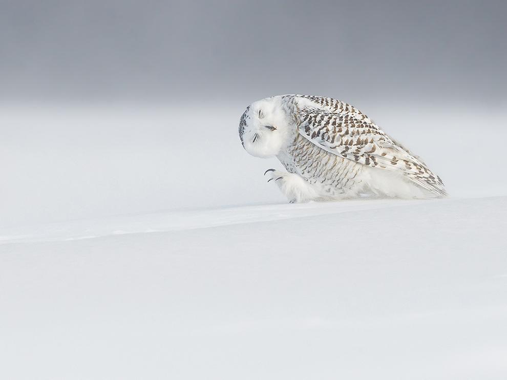 Owl walking upwind: http://t.co/u5Lz27YLnW
