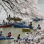 Cherry blossoms in China and Japan mark the herald of spring. Check out the pictures. http://t.co/xI457B7ni5 http://t.co/4LXDwyJmG5