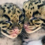 Endangered clouded leopard kittens born in Miami Zoo http://t.co/8uAiQZEPss http://t.co/gJSYMw1Lu9
