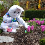 #EasterBunny getting ready for the weekend #EggHunts @VanDusenGdn #Vancouver http://t.co/efFoE7vMkV http://t.co/TvPl8iMSjD