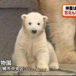 【ほっこり】ホッキョクグマの赤ちゃん、円山動物園で公開 http://t.co/dGVoIJqCLI 去年12月21日産まれた赤ちゃんで、性別はまだわかっていない。性格は甘えん坊でちょっとおっとりしているという。 http://t.co/qJ3SWegGp5