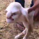 Cordeiro nasce com aparência humana em fazenda na Rússia. Assista: http://t.co/u9MatjRZQ0 #G1 http://t.co/fc1mzvCN6m