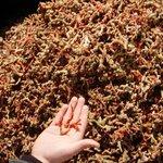 La @guardiacivil efectúa el mayor decomiso de coral hecho nunca en Cataluña http://t.co/BU6S0ujo7p 92,5 kilos http://t.co/ifCfVAOuVg