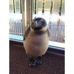 【もじもじ】内股ポーズになっちゃった京都水族館のペンギンが話題 http://t.co/N5JPzs76tp このポーズだと、なんだか違う種類の鳥のようにも見えますね。 http://t.co/HDmXhYq04K