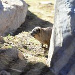 #TuesdayTidbit Cheyenne Mountain Zoo has five rock hyraxes. They share an exhibit with the colobus monkeys. http://t.co/QueqyY8gr9