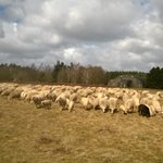 RT @EsterFloor: De #schaapskudde is terug op @ParkVbs met herder @WernerForester @UtrLandschap. http://t.co/Ta03DYbA1H