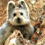 Conoce al Ili Pika, tierno roedor chino que esta a punto de extinguirse y es furor en internet http://t.co/rpLbCnEVg7 http://t.co/EaDbZuaO9f