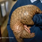 The struggle to save the pangolin, the planet's most frequently trafficked mammal http://t.co/U37CagWiIi http://t.co/QaIVoeAkXl