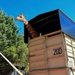 #ICYMI: Single male #giraffe Shaba arrives at National Zoo in #Canberra looking for love http://t.co/e5oD8wSoJT http://t.co/vu2pbZt5m9