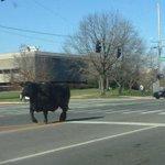 Vaca é flagrada correndo em universidade americana. http://t.co/rY6DMPba5q [@BlogPageNFound] http://t.co/oELvxFDcwf