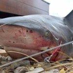 Australiano fisga tubarão-touro em canal atrás de sua casa http://t.co/TaW47hYwUR #G1 http://t.co/LYeqsRBmGi