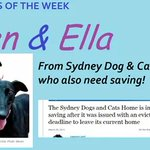 The @Sydneydogsncats has a couple of gorgeous #greyhounds in #Sydney... Give these #blackbeauties a look too !! http://t.co/sSOznsSVG4