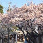 #春爛漫OHANAMI #桜 朝も晩も全力で、一瞬の春を彩る桜 http://t.co/tyf3v0ynBk