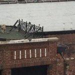 #VideoCNN: Casual, un coyote decidió pasear por la azotea de un bar en Queens, Nueva York http://t.co/d0X3Cx7cxW http://t.co/IvhtpVG7mk
