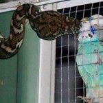 Australiana flagra cobra fazendo carinho em periquito na gaiola http://t.co/kfQ4jlaNya #G1 http://t.co/d9faSOK4NI