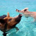 Nao é mentira! Nas Bahamas, mergulhar com porcos em águas cristalinas é atração turística. http://t.co/4WEeF8DjxK http://t.co/Lw8uRN18Je