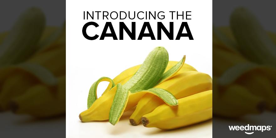 After 3 yrs, the Canana-binoid Genetics Grow team crossbred a banana tree and a cannabis plant for THC-infused fruit! http://t.co/0mD5RX8zxt