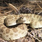 Watch your step! The rattlesnakes are back. Heres how to stay safe on the #FoCo trails. http://t.co/kDNQZWK9cj http://t.co/SOhvgtk3rb
