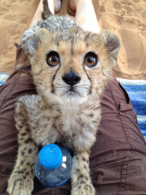 RT @OutOfWild: Rescued cheetah cub! http://t.co/nEEGNXQGSo