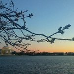 Bloom Watch: Update on DC Cherry Blossoms http://t.co/ZDceGuOJF3 #DC http://t.co/pDAbvwcIBv