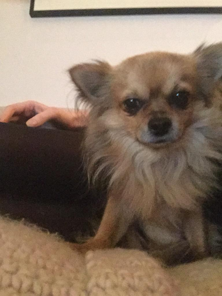 Our dog Biggie has gone missing. Around the Victoria park area East London. He's a small Chihuahua. Please all LOOK! http://t.co/vkp5MhtC4t