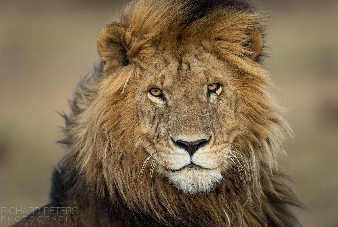 Meet Morani, a lion who lives in the Maasai Mara. You can just tell he knows he's a good looking cat! #WildlifePhoto http://t.co/NlTv4k5E0x