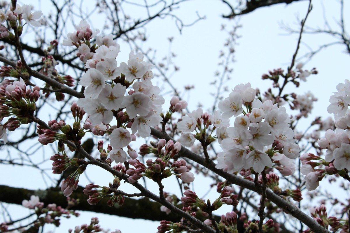 【国宝松本城の桜2015】本日4日、国宝松本城北側の桜。本日午前8時、国宝松本城外堀の桜標本木(ソメイヨシノ)の開花宣言を行いました。昨年の開花日は4月9日でした。 #matsumoto http://t.co/M7feDn8jbX