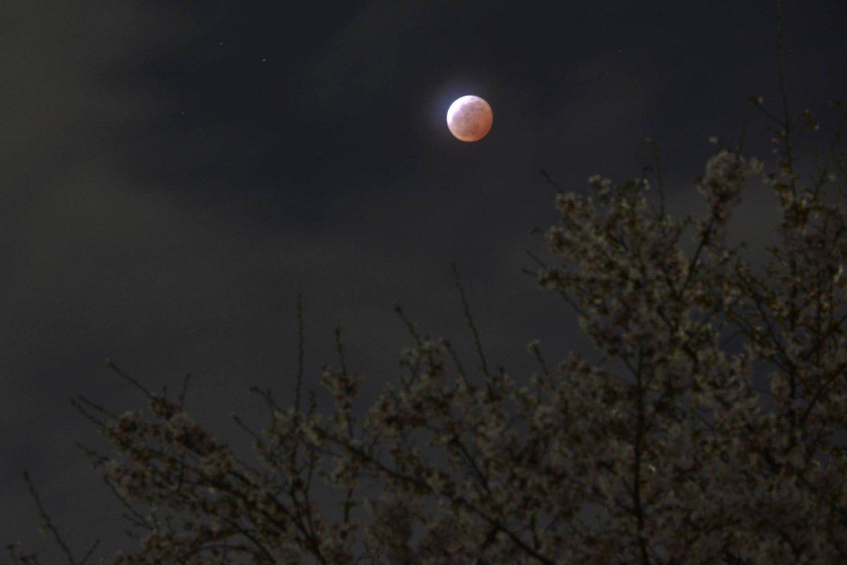 皆既月食と桜 雲が掛かっていたのですがピークの時間帯に奇跡的に2分間だけ切れ間が出て撮れました 20:55 福島県いわき市 #皆既月食 http://t.co/G5E7hn1c1c