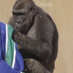 Lol! Even the #Calgary Zoos gorillas want to be #Canucks (VIDEO) http://t.co/yc5uj43eaT http://t.co/ummsArVh8i