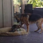 German Shepherd puppy tries to get out of nap time; Mom will have none of it  http://t.co/YySCMEmHlV http://t.co/JVditrYHCU