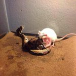 ป้าคนหนึ่งซื้อหนู ให้งูที่เลี้ยงกิน และนี่คือผลลัพธ์น่าสะพรึงที่เกิดขึ้น #กูจะไม่ยอมเห็นรูปนี้คนเดียว http://t.co/ZHj2dWeOnf