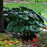 Garden Guru: Giant leopard plant leaves visitors awestruck: http://t.co/X6wJZxsUTq | @CGBGgardenguru | #Savannah http://t.co/IQ9FLcugXT