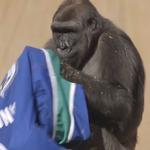 Calgarian gorilla wears a Canucks jersey.. love it! http://t.co/lHEKPRijmy - @SuttoZ953 #Canucks #Flames #Gorilla http://t.co/rYhQqgCzGa